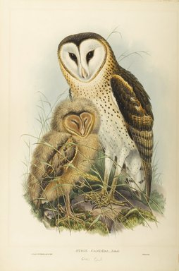 John Gould (British, 1804-1881). <em>Strix Candida-Tickell: Grass Owl</em>. Lithograph on wove paper, Sheet: 21 7/8 x 14 1/2 in. (55.6 x 36.8 cm). Brooklyn Museum, Gift of the Estate of Emily Winthrop Miles, 64.98.158 (Photo: Brooklyn Museum, 64.98.158_PS9.jpg)