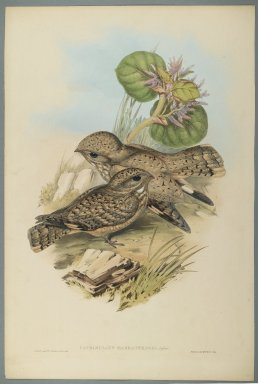 John Gould (British, 1804-1881). <em>Caprimulgus Mahrattensis, Nightjar</em>. Lithograph on wove paper, Sheet: 21 7/8 x 14 1/2 in. (55.6 x 36.8 cm). Brooklyn Museum, Gift of the Estate of Emily Winthrop Miles, 64.98.159 (Photo: Brooklyn Museum, 64.98.159_PS2.jpg)