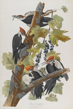 John James  Audubon (American, born Haiti, 1785-1851). <em>Pileated Woodpecker</em>, 1827-1838. Black-ink etching, aquatint and engraving toned by hand with opaque and transparent watercolors, Sheet: 38 1/2 x 26 in. (97.8 x 66 cm). Brooklyn Museum, Gift of the Estate of Emily Winthrop Miles, 64.98.15 (Photo: Brooklyn Museum, 64.98.15_PS2.jpg)