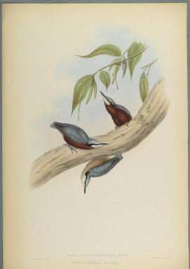 John Gould (British, 1804-1881). <em>Stila Castaneoventris, Chestnut-Bellied Nuthatch</em>. Lithograph on wove paper, Sheet: 23 3/8 x 18 7/16 in. (59.4 x 46.8 cm). Brooklyn Museum, Gift of the Estate of Emily Winthrop Miles, 64.98.161 (Photo: Brooklyn Museum, 64.98.161_PS2.jpg)