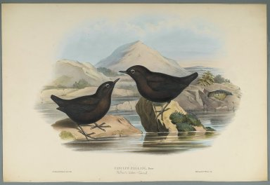 John Gould (British, 1804-1881). <em>Cinclus Pallasi: Pallas' Water Ouzel</em>. Lithograph on wove paper, Sheet: 21 7/8 x 14 1/2 in. (55.6 x 36.8 cm). Brooklyn Museum, Gift of the Estate of Emily Winthrop Miles, 64.98.163 (Photo: Brooklyn Museum, 64.98.163_PS2.jpg)