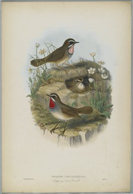 John Gould (British, 1804-1881). <em>Calliope Camschatkensis</em>. Lithograph on wove paper, Sheet: 21 7/8 x 14 1/2 in. (55.6 x 36.8 cm). Brooklyn Museum, Gift of the Estate of Emily Winthrop Miles, 64.98.164 (Photo: Brooklyn Museum, 64.98.164_PS2.jpg)
