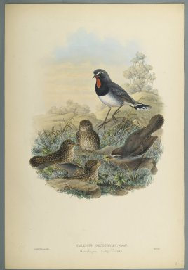 John Gould (British, 1804-1881). <em>Calliope Pectoralis</em>. Lithograph on wove paper, Sheet: 21 7/8 x 14 1/2 in. (55.6 x 36.8 cm). Brooklyn Museum, Gift of the Estate of Emily Winthrop Miles, 64.98.165 (Photo: Brooklyn Museum, 64.98.165_PS2.jpg)