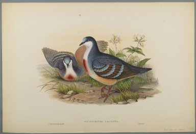 John Gould (British, 1804-1881). <em>Philogoenas Cruenta</em>. Lithograph on wove paper, Sheet: 21 7/8 x 14 1/2 in. (55.6 x 36.8 cm). Brooklyn Museum, Gift of the Estate of Emily Winthrop Miles, 64.98.166 (Photo: Brooklyn Museum, 64.98.166_PS2.jpg)