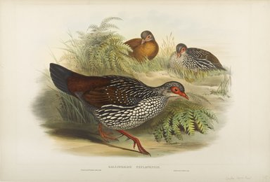 John Gould (British, 1804-1881). <em>Galloperdix Zeylonicus</em>. Lithograph on wove paper, Sheet: 21 7/8 x 14 1/2 in. (55.6 x 36.8 cm). Brooklyn Museum, Gift of the Estate of Emily Winthrop Miles, 64.98.167 (Photo: Brooklyn Museum, 64.98.167_PS9.jpg)