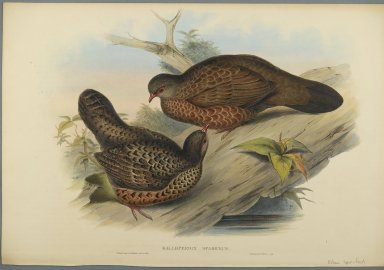 John Gould (British, 1804-1881). <em>Galloperdix Spadiceus</em>. Lithograph on wove paper, Sheet: 21 7/8 x 14 1/2 in. (55.6 x 36.8 cm). Brooklyn Museum, Gift of the Estate of Emily Winthrop Miles, 64.98.168 (Photo: Brooklyn Museum, 64.98.168_PS2.jpg)