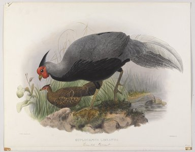 John Gould (British, 1804-1881). <em>Euplocomus Lineatus: Lineated Pheasant</em>. Lithograph on wove paper, Sheet: 23 3/8 x 18 7/16 in. (59.4 x 46.8 cm). Brooklyn Museum, Gift of the Estate of Emily Winthrop Miles, 64.98.169 (Photo: Brooklyn Museum, 64.98.169_PS9.jpg)