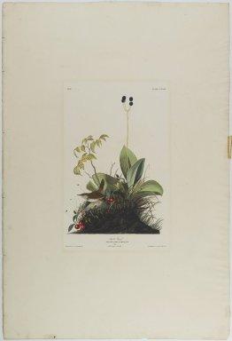 John James  Audubon (American, born Haiti, 1785-1851). <em>Wood Wren</em>, 1833. Aquatint, approx.: 27 x 40 in. (68.6 x 101.6 cm). Brooklyn Museum, Gift of the Estate of Emily Winthrop Miles, 64.98.16 (Photo: Brooklyn Museum, 64.98.16_PS1.jpg)