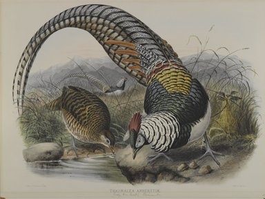 John Gould (British, 1804-1881). <em>Thaumalea Amherstiae: Lady Amhert's Pheasant</em>. Lithograph on wove paper, Sheet: 23 3/8 x 18 7/16 in. (59.4 x 46.8 cm). Brooklyn Museum, Gift of the Estate of Emily Winthrop Miles, 64.98.171 (Photo: Brooklyn Museum, 64.98.171_PS4.jpg)