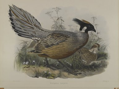 John Gould (British, 1804-1881). <em>Pucrasia Darwini</em>. Lithograph on wove paper, Sheet: 23 3/8 x 18 7/16 in. (59.4 x 46.8 cm). Brooklyn Museum, Gift of the Estate of Emily Winthrop Miles, 64.98.173 (Photo: Brooklyn Museum, 64.98.173_PS4.jpg)