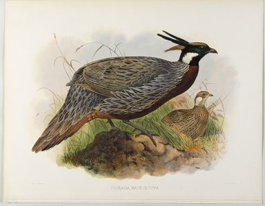 John Gould (British, 1804-1881). <em>Pucrasia Macrolopha</em>. Lithograph on wove paper, Sheet: 17 7/8 x 23 1/8 in. (45.4 x 58.7 cm). Brooklyn Museum, Gift of the Estate of Emily Winthrop Miles, 64.98.174 (Photo: Brooklyn Museum, 64.98.174_PS9.jpg)