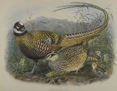 John Gould (British, 1804-1881). <em>Phasianus Reevesii: Reeves' Pheasant</em>. Lithograph on wove paper, Sheet: 21 7/8 x 14 1/2 in. (55.6 x 36.8 cm). Brooklyn Museum, Gift of the Estate of Emily Winthrop Miles, 64.98.175 (Photo: Brooklyn Museum, 64.98.175_PS4.jpg)