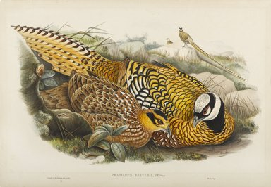 John Gould (British, 1804-1881). <em>Phasianus Reevesii: Reeves' Pheasant</em>. Lithograph on wove paper, Sheet: 14 1/2 x 21 1/2 in. (36.8 x 54.6 cm). Brooklyn Museum, Gift of the Estate of Emily Winthrop Miles, 64.98.176 (Photo: Brooklyn Museum, 64.98.176_PS9.jpg)