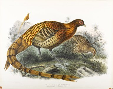 John Gould (British, 1804-1881). <em>Phasianus Soemmerringii: Saumering's Pheasant</em>. Lithograph on wove paper, Sheet: 23 3/8 x 18 7/16 in. (59.4 x 46.8 cm). Brooklyn Museum, Gift of the Estate of Emily Winthrop Miles, 64.98.177 (Photo: Brooklyn Museum, 64.98.177_PS9.jpg)