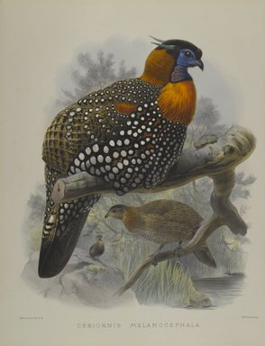 John Gould (British, 1804-1881). <em>Ceriornis Melanocephala</em>. Lithograph on wove paper, Sheet: 23 3/8 x 18 7/16 in. (59.4 x 46.8 cm). Brooklyn Museum, Gift of the Estate of Emily Winthrop Miles, 64.98.179 (Photo: Brooklyn Museum, 64.98.179_PS4.jpg)