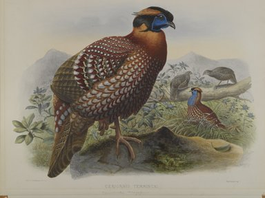 John Gould (British, 1804-1881). <em>Ceriornis Temminkii: Temminck's Trazapan</em>. Lithograph on wove paper, Sheet: 23 3/8 x 18 7/8 in. (59.4 x 47.9 cm). Brooklyn Museum, Gift of the Estate of Emily Winthrop Miles, 64.98.180 (Photo: Brooklyn Museum, 64.98.180_PS4.jpg)