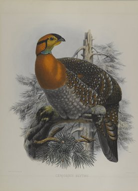 John Gould (British, 1804-1881). <em>Ceriornis Blythii: Blyth's Trazapan</em>. Lithograph on wove paper, Sheet: 23 3/8 x 18 7/16 in. (59.4 x 46.8 cm). Brooklyn Museum, Gift of the Estate of Emily Winthrop Miles, 64.98.181 (Photo: Brooklyn Museum, 64.98.181_PS4.jpg)