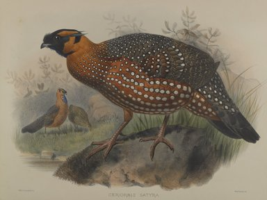 John Gould (British, 1804-1881). <em>Ceriornis Satyra</em>. Lithograph on wove paper, Sheet: 23 3/8 x 18 7/16 in. (59.4 x 46.8 cm). Brooklyn Museum, Gift of the Estate of Emily Winthrop Miles, 64.98.182 (Photo: Brooklyn Museum, 64.98.182_PS4.jpg)