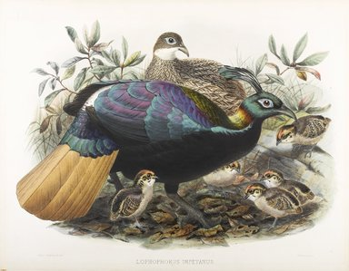John Gould (British, 1804-1881). <em>Lophophorus Impeyanus</em>. Lithograph on wove paper, Sheet: 23 3/8 x 18 7/16 in. (59.4 x 46.8 cm). Brooklyn Museum, Gift of the Estate of Emily Winthrop Miles, 64.98.183 (Photo: Brooklyn Museum, 64.98.183_PS9.jpg)