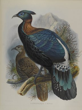 John Gould (British, 1804-1881). <em>Lophophorus L'Huysii</em>. Lithograph on wove paper, Sheet: 23 3/8 x 18 7/16 in. (59.4 x 46.8 cm). Brooklyn Museum, Gift of the Estate of Emily Winthrop Miles, 64.98.184 (Photo: Brooklyn Museum, 64.98.184_PS4.jpg)