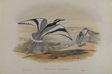 John Gould (British, 1804-1881). <em>Pluvianus Aegyptius</em>. Lithograph on wove paper, Sheet: 21 7/8 x 14 1/2 in. (55.6 x 36.8 cm). Brooklyn Museum, Gift of the Estate of Emily Winthrop Miles, 64.98.185 (Photo: Brooklyn Museum, 64.98.185_PS4.jpg)