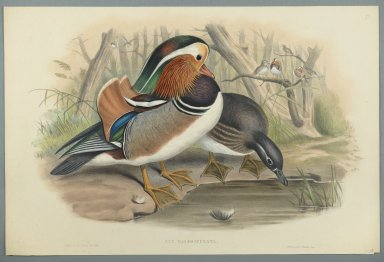 John Gould (British, 1804-1881). <em>Aix Galericulata: Duck</em>. Lithograph on wove paper, Sheet: 21 7/8 x 14 1/2 in. (55.6 x 36.8 cm). Brooklyn Museum, Gift of the Estate of Emily Winthrop Miles, 64.98.186 (Photo: Brooklyn Museum, 64.98.186_PS2.jpg)