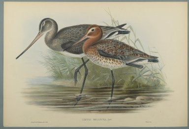 John Gould (British, 1804-1881). <em>Lurinosa Melanura</em>. Lithograph on wove paper, Sheet: 21 7/8 x 14 1/2 in. (55.6 x 36.8 cm). Brooklyn Museum, Gift of the Estate of Emily Winthrop Miles, 64.98.187 (Photo: Brooklyn Museum, 64.98.187_PS2.jpg)