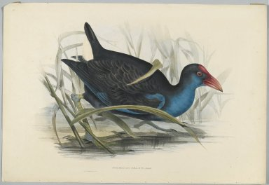 John Gould (British, 1804-1881). <em>Porphyrio Bellus</em>. Lithograph on wove paper, 21 7/8 x 13 7/8 in. (55.6 x 35.2 cm). Brooklyn Museum, Gift of the Estate of Emily Winthrop Miles, 64.98.189 (Photo: Brooklyn Museum, 64.98.189_PS2.jpg)