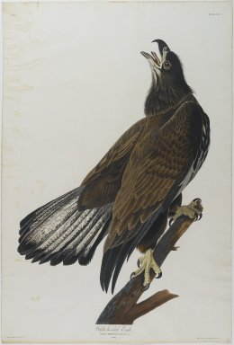 John James  Audubon (American, born Haiti, 1785-1851). <em>White - Headed Eagle</em>. Aquatint, approx.: 27 x 40 in. (68.6 x 101.6 cm). Brooklyn Museum, Gift of the Estate of Emily Winthrop Miles, 64.98.18 (Photo: Brooklyn Museum, 64.98.18_PS1.jpg)