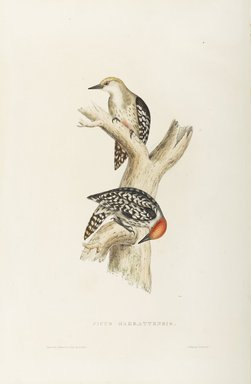 John Gould (British, 1804-1881). <em>Picus Mahrattensis</em>. Lithograph on wove paper, 21 7/8 x 13 7/8 in. (55.6 x 35.2 cm). Brooklyn Museum, Gift of the Estate of Emily Winthrop Miles, 64.98.190 (Photo: Brooklyn Museum, 64.98.190_PS9.jpg)