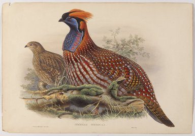 John Gould (British, 1804-1881). <em>Ceriornis Temmincki</em>. Lithograph on wove paper, 14 1/2 x 21 in. (36.8 x 53.3 cm). Brooklyn Museum, Gift of the Estate of Emily Winthrop Miles, 64.98.193 (Photo: Brooklyn Museum, 64.98.193_PS9.jpg)