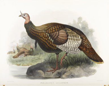 John Gould (British, 1804-1881). <em>Meleagris Gallopavo: Wild Turkey</em>. Lithograph on wove paper, 23 3/8 x 18 3/8 in. (59.4 x 46.7 cm). Brooklyn Museum, Gift of the Estate of Emily Winthrop Miles, 64.98.194 (Photo: Brooklyn Museum, 64.98.194_PS9.jpg)