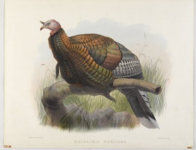 John Gould (British, 1804-1881). <em>Meleagris Mexicana: Mexican Turkey</em>. Lithograph on wove paper, 23 3/8 x 18 3/8 in. (59.4 x 46.7 cm). Brooklyn Museum, Gift of the Estate of Emily Winthrop Miles, 64.98.195 (Photo: Brooklyn Museum, 64.98.195_PS9.jpg)