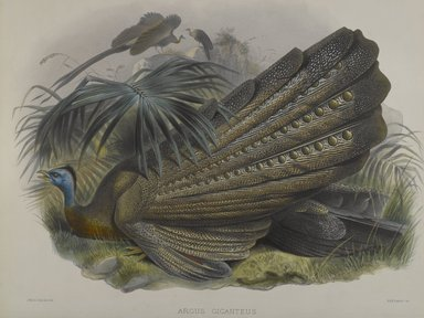 John Gould (British, 1804-1881). <em>Argus Giganteus: Great Argus Pheasant</em>. Lithograph on wove paper, 23 3/8 x 18 3/8 in. (59.4 x 46.7 cm). Brooklyn Museum, Gift of the Estate of Emily Winthrop Miles, 64.98.196 (Photo: Brooklyn Museum, 64.98.196_PS4.jpg)