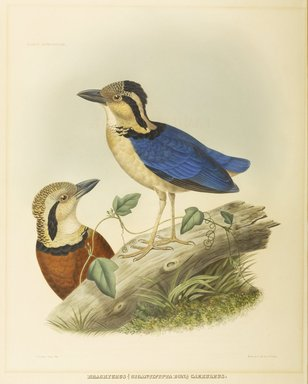 John Gould (British, 1804-1881). <em>Brachyrus Gigantipitta Bon</em>. Lithograph on wove paper, 22 1/2 x 13 3/4 in. (57.2 x 34.9 cm). Brooklyn Museum, Gift of the Estate of Emily Winthrop Miles, 64.98.197 (Photo: Brooklyn Museum, 64.98.197_PS9.jpg)