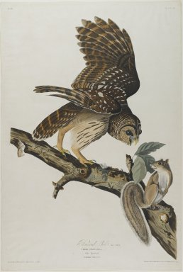 John James  Audubon (American, born Haiti, 1785-1851). <em>Barred Owl</em>, 1828. Aquatint, approx.: 27 x 40 in. (68.6 x 101.6 cm). Brooklyn Museum, Gift of the Estate of Emily Winthrop Miles, 64.98.19 (Photo: Brooklyn Museum, 64.98.19_PS1.jpg)