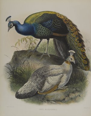 Daniel Giraud Elliott (American, 1835-1915). <em>Pavo Nigripennis - Black Shouldered Pea Fowl</em>. Lithograph in color on wove paper, 23 1/4 x 18 1/8 in. (59.1 x 46 cm). Brooklyn Museum, Gift of the Estate of Emily Winthrop Miles, 64.98.205 (Photo: Brooklyn Museum, 64.98.205_PS4.jpg)