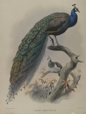 Daniel Giraud Elliott (American, 1835-1915). <em>Pavo Cristafus- Common Pea Fowl</em>. Lithograph in color on wove paper, 23 1/4 x 18 1/8 in. (59.1 x 46 cm). Brooklyn Museum, Gift of the Estate of Emily Winthrop Miles, 64.98.209 (Photo: Brooklyn Museum, 64.98.209_PS4.jpg)