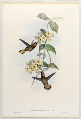 John Gould (British, 1804-1881). <em>Threnetes Cervinicauda: Barbed Throat</em>. Lithograph in color on wove paper, 21 1/2 x 14 3/8 in. (54.6 x 36.5 cm). Brooklyn Museum, Gift of the Estate of Emily Winthrop Miles, 64.98.210 (Photo: Brooklyn Museum, 64.98.210_PS9.jpg)