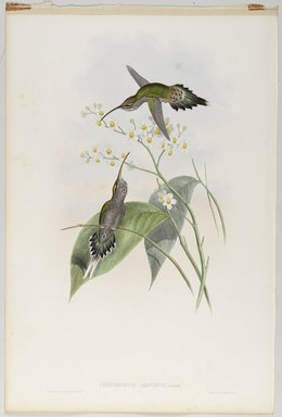 John Gould (British, 1804-1881). <em>Phaethornis Hispidus: Hispida Hermit</em>. Lithograph in color on wove paper, 21 1/2 x 14 3/8 in. (54.6 x 36.5 cm). Brooklyn Museum, Gift of the Estate of Emily Winthrop Miles, 64.98.211 (Photo: Brooklyn Museum, 64.98.211_PS9.jpg)