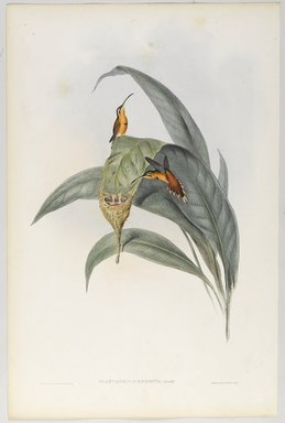 John Gould (British, 1804-1881). <em>Phaethornis Eremita: Little Hermit</em>. Lithograph in color on wove paper, 21 1/2 x 14 3/8 in. (54.6 x 36.5 cm). Brooklyn Museum, Gift of the Estate of Emily Winthrop Miles, 64.98.212 (Photo: Brooklyn Museum, 64.98.212_PS9.jpg)