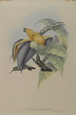 John Gould (British, 1804-1881). <em>Aphantochroa Cirrhochloris: Sombre Humming Bird</em>. Lithograph in color on wove paper, 21 1/2 x 14 3/8 in. (54.6 x 36.5 cm). Brooklyn Museum, Gift of the Estate of Emily Winthrop Miles, 64.98.219 (Photo: Brooklyn Museum, 64.98.219_PS4.jpg)