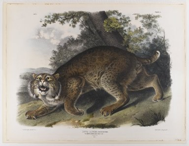 John James  Audubon (American, born Haiti, 1785-1851). <em>Common American Wildcat</em>. Lithograph, 21 x 27 in. (53.3 x 68.6 cm). Brooklyn Museum, Gift of the Estate of Emily Winthrop Miles, 64.98.21 (Photo: Brooklyn Museum, 64.98.21_IMLS_PS4.jpg)
