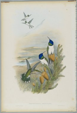 John Gould (British, 1804-1881). <em>Oreotrochilus Chimborazo: Hill Star</em>. Lithograph in color on wove paper, 21 1/2 x 14 3/8 in. (54.6 x 36.5 cm). Brooklyn Museum, Gift of the Estate of Emily Winthrop Miles, 64.98.221 (Photo: Brooklyn Museum, 64.98.221_PS2.jpg)