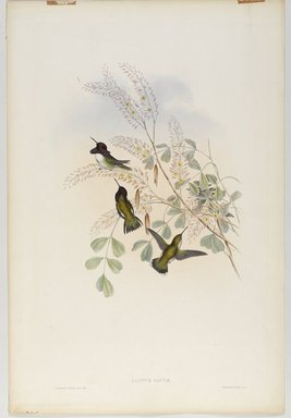 John Gould (British, 1804-1881). <em>Calypte Costae</em>. Lithograph in color on wove paper, 21 1/2 x 14 3/8 in. (54.6 x 36.5 cm). Brooklyn Museum, Gift of the Estate of Emily Winthrop Miles, 64.98.224 (Photo: Brooklyn Museum, 64.98.224_PS9.jpg)