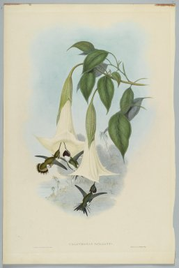 John Gould (British, 1804-1881). <em>Calothorax Mulsanti: Mulsant's Wood Star</em>. Lithograph in color on wove paper, 21 1/2 x 14 3/8 in. (54.6 x 36.5 cm). Brooklyn Museum, Gift of the Estate of Emily Winthrop Miles, 64.98.225 (Photo: Brooklyn Museum, 64.98.225_PS2.jpg)