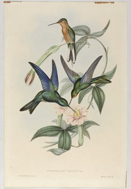John Gould (British, 1804-1881). <em>Pterophanes Temmincki: Temminck's Humming Bird</em>. Lithograph in color on wove paper, 21 1/2 x 14 3/8 in. (54.6 x 36.5 cm). Brooklyn Museum, Gift of the Estate of Emily Winthrop Miles, 64.98.227 (Photo: Brooklyn Museum, 64.98.227_PS9.jpg)