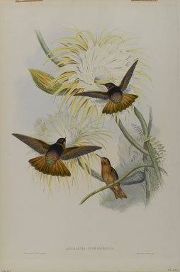 John Gould (British, 1804-1881). <em>Aglaeactis Cupreipennis</em>. Lithograph in color on wove paper, 21 1/2 x 14 3/8 in. (54.6 x 36.5 cm). Brooklyn Museum, Gift of the Estate of Emily Winthrop Miles, 64.98.228 (Photo: Brooklyn Museum, 64.98.228_PS4.jpg)