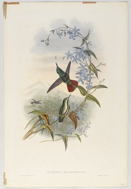 John Gould (British, 1804-1881). <em>Avocettula Recurvirostris</em>. Lithograph in color on wove paper, 21 1/2 x 14 3/8 in. (54.6 x 36.5 cm). Brooklyn Museum, Gift of the Estate of Emily Winthrop Miles, 64.98.229 (Photo: Brooklyn Museum, 64.98.229_PS9.jpg)