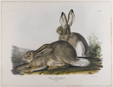 John James  Audubon (American, born Haiti, 1785-1851). <em>Townsend's Rocky Mountain Hare</em>, 1842. Lithograph, 21 x 27 in. (53.3 x 68.6 cm). Brooklyn Museum, Gift of the Estate of Emily Winthrop Miles, 64.98.22 (Photo: Brooklyn Museum, 64.98.22_IMLS_PS4.jpg)